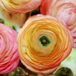 Cvet ljutić – ranunkula sadnja, uzgoj, razmnožavanje