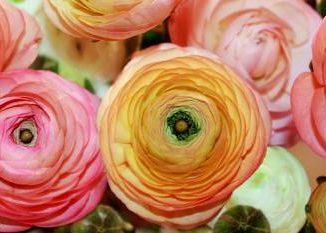 cvet ljutic