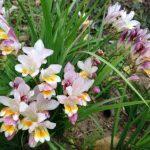 Frezija cveće uzgoj, sadnja, nega