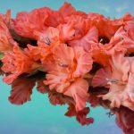 Gladiole uzgoj, sadnja, nega, razmnožavanje