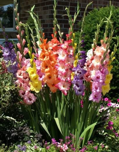 gladiole sadnja