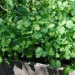 Korijander biljka sadnja i uzgoj u bašti i saksiji – upotreba, lekovitost