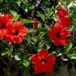 Sobni hibiskus kao ukrasna biljka – uzgoj, sadnja, razmnožavanje, orezivanje