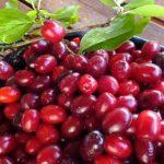 Kako napraviti slatko, pekmez, liker i sok od drenjina (RECEPTI)