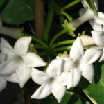 Stefanotis (madagaskarski jasmin) – uzgoj i nega