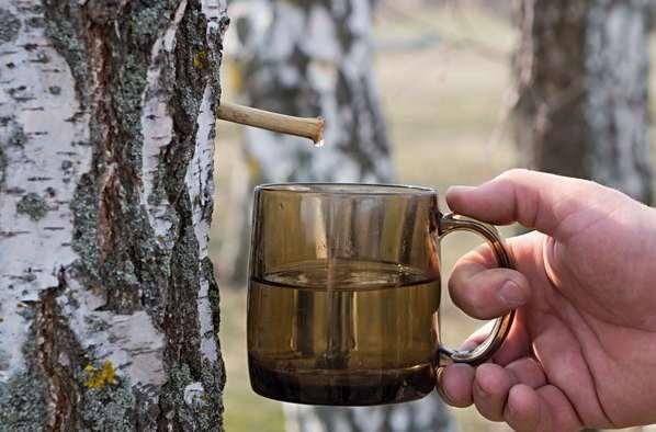 brezov sok kao lek