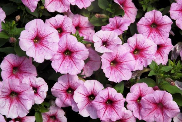 biljka petunija