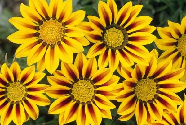gazanija cvijet