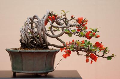 japanska dunja bonsai