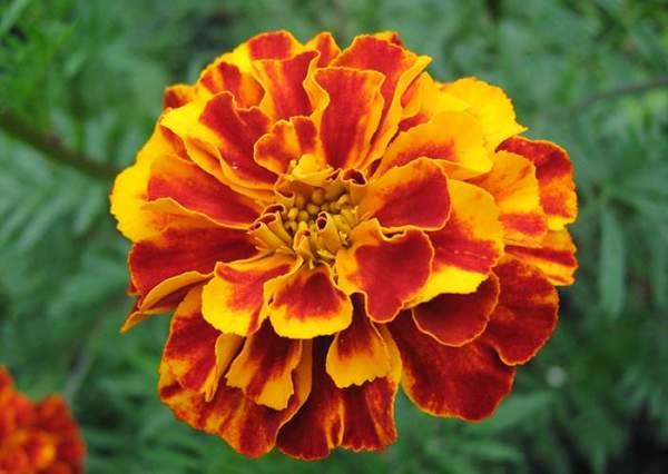 kadifa cvet