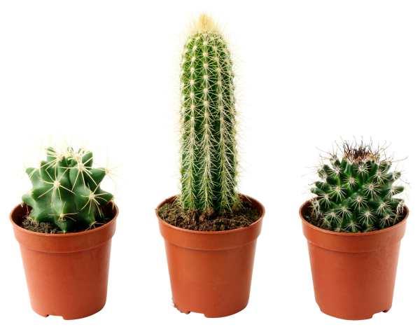 kaktusi u sobi