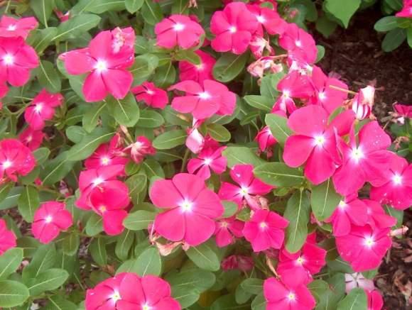 vinka cvijet