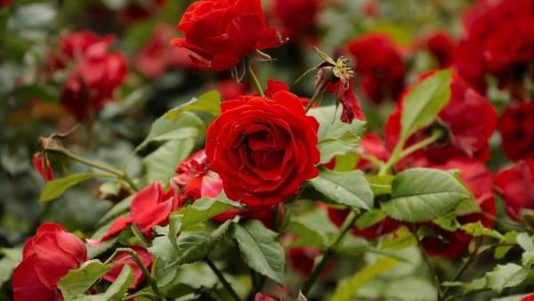 gajenje ruze