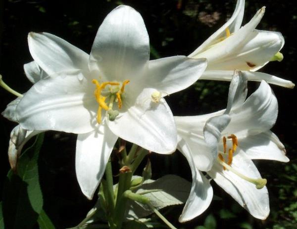 beli ljiljan