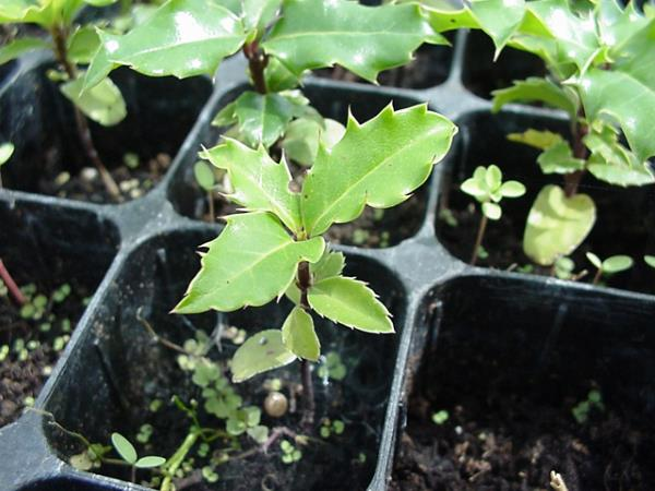 bozikovina sadnja
