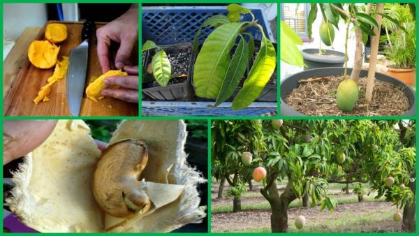 gajenje manga iz semena