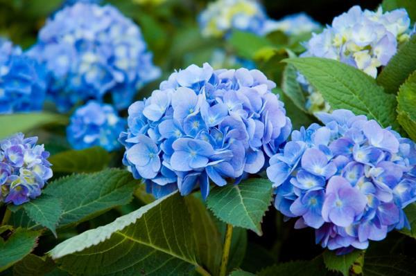 hortenzija cvece