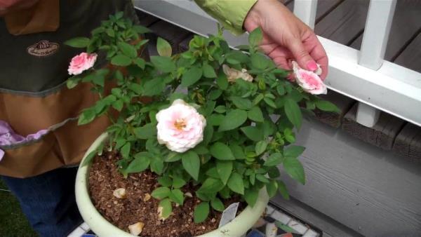 patuljaste ruze uzgoj
