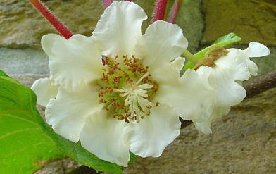 Zenski cvet