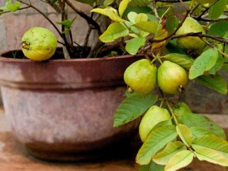 guava voce