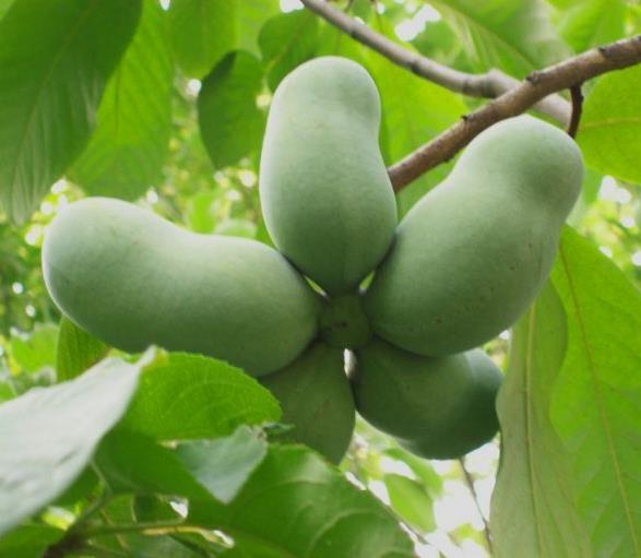 indijanska banana uzgoj