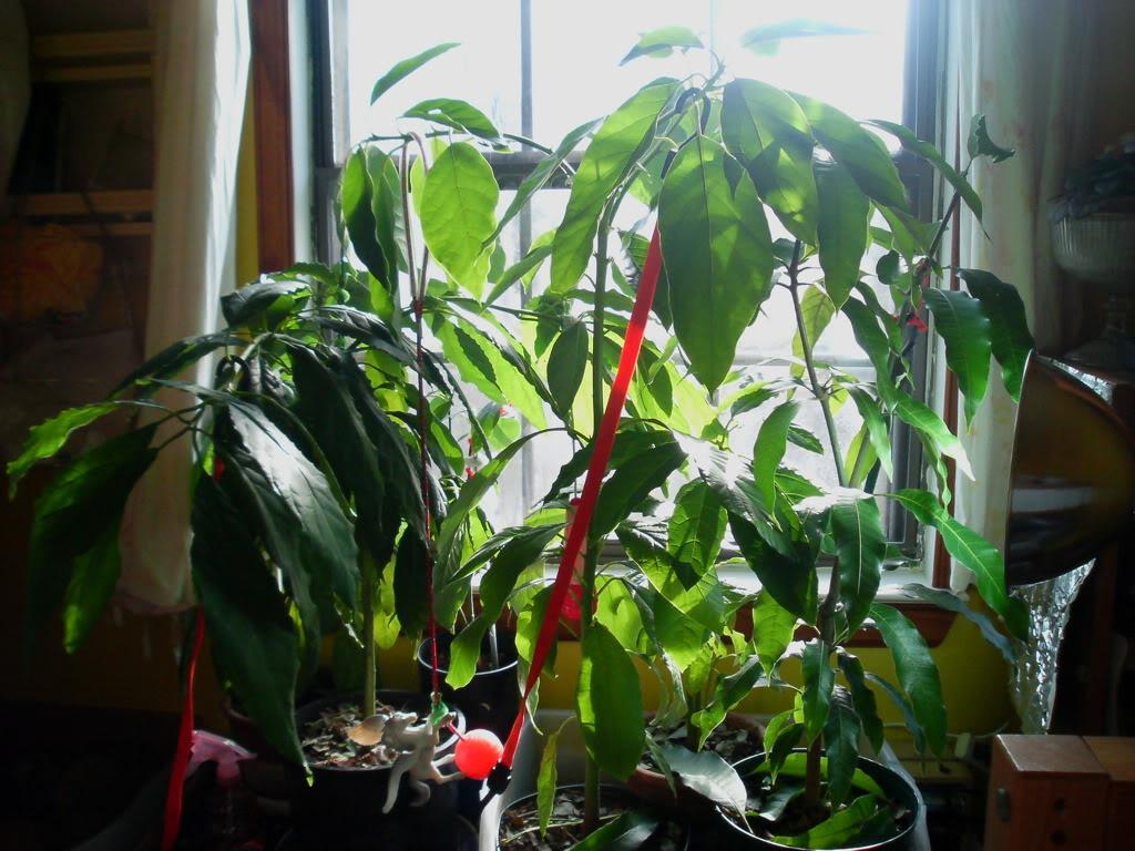 kako gajiti avokado u saksiji