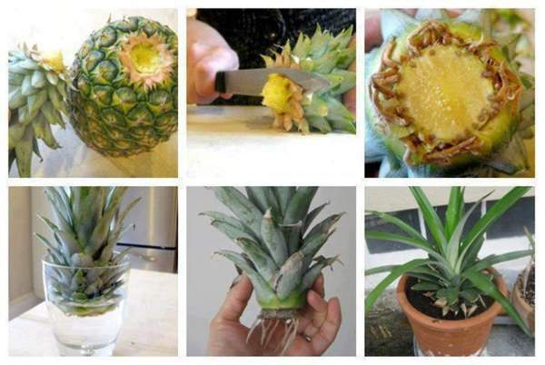 kako se gaji ananas