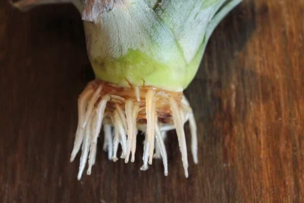 razmnozavanje ananasa
