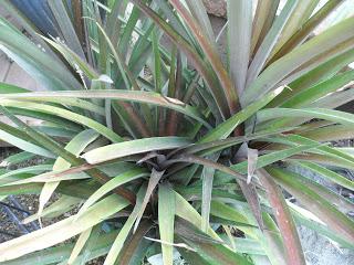 uzgoj ananasa u saksiji