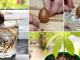 uzgoj avokada iz kostice