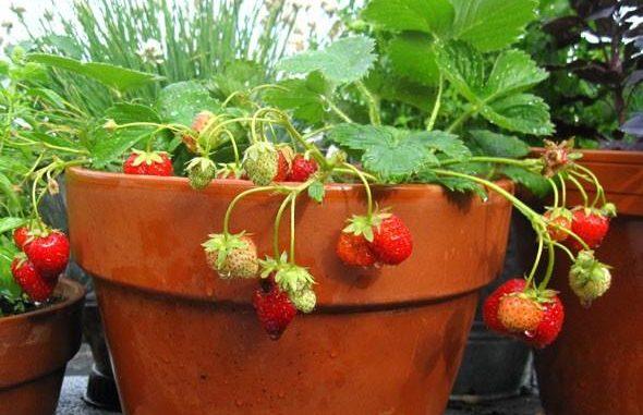 uzgoj jagoda