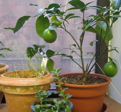 uzgoj limuna u kuci