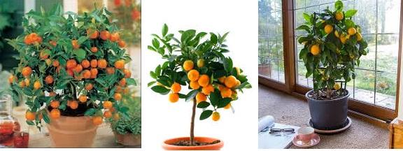 uzgoj mandarine u saksiji