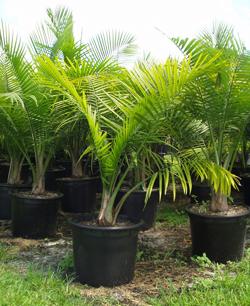 bambus palma gajenje