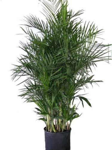 bambus palma uzgoj