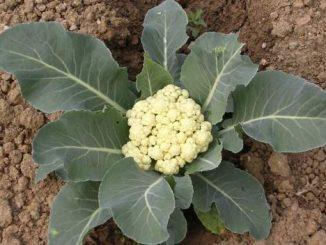 uzgoj karfiola