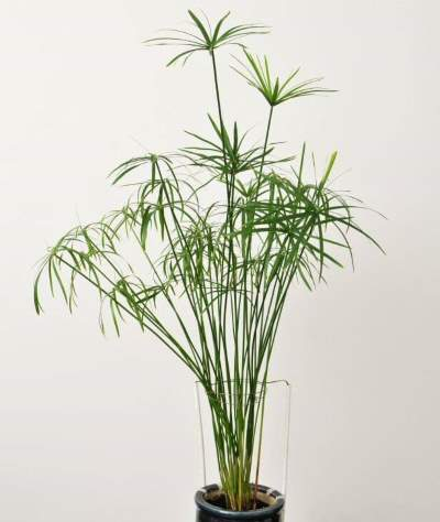 vodena palma odrzavanje