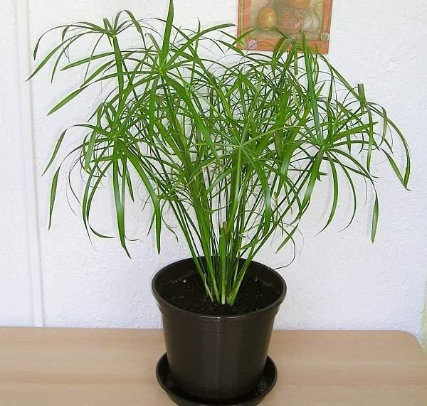 vodena palma uzgoj