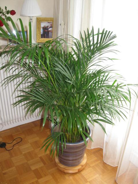 areca palma uzgoj