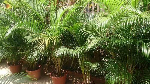 areka palma