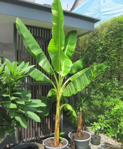 banana u saksiji zalivanje