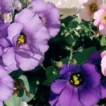 lizijantus cvijet