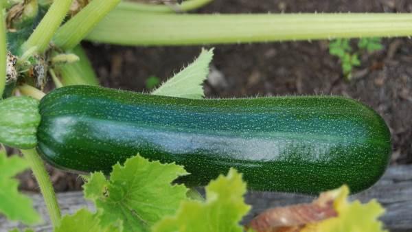 tikvice sadnja i uzgoj