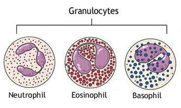 granulociti u krvi