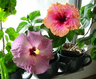 hibiskus cvijet