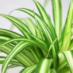 hlorofitum gajenje