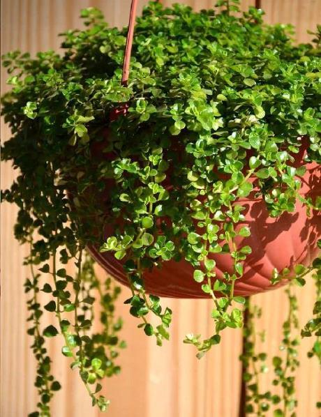 kucna sreca biljka