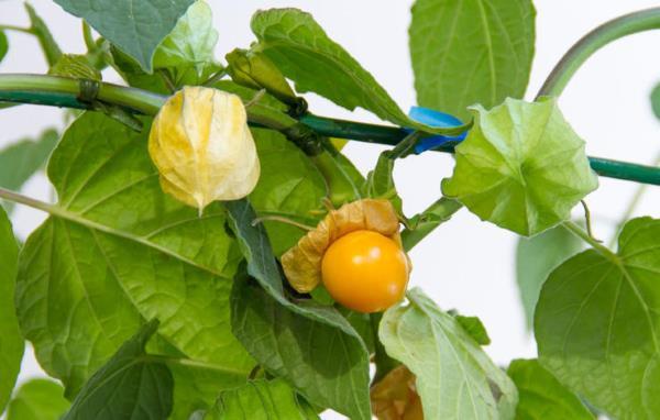 peruanska jagoda uzgoj