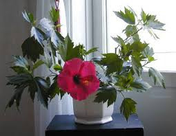 sobni hibiskus